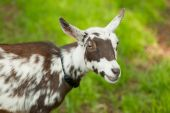 stock photo of pygmy goat  - brown and white pygmy goat looking at camera with green grass behind - JPG
