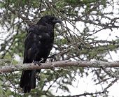 Acadian Crow