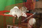 Rats On Walk