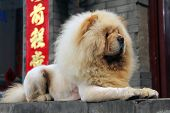 stock photo of chow  - chow lying on the street on the background chinese characters - JPG