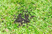stock photo of excretory  - Moose feces on a pile of green grass - JPG
