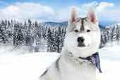 close-up portrait of Siberian husky breed dog on winter background
