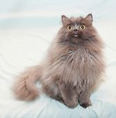 Fluffy, Long-haired Cat With Yellow Eyes Sitting With Paw Raised