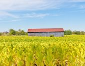 stock photo of tobacco barn  - Country landscape with barn and tobacco plants field - JPG