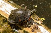 stock photo of cooter  - A wild Florida Redbelly turtle sitting on a log in a cypress swamp - JPG