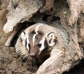 North American Short Legged Badger Emerging From Safety Of Burrow