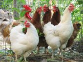 Group Of Hens With Rooster