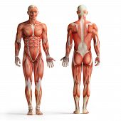 stock photo of human muscle  - isolated front and back view of male anatomy - JPG