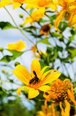Mexican Sunflower Weed and Insect.