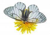 White Butterfly (papilio Stubendorfi)