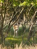 Young Female Fallow Deer (dama Dama) In The Waterleidingduinen, The Netherlands