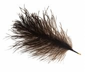 picture of ostrich plumage  - furry ostrich feather on white background close up - JPG