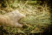 Man's Hand Holding Sheaf Of Hay. Harvest Concept