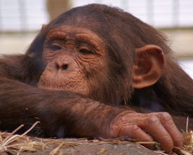 picture of tarzan  - An image of a moloncholny looking chimp in a zoo  - JPG