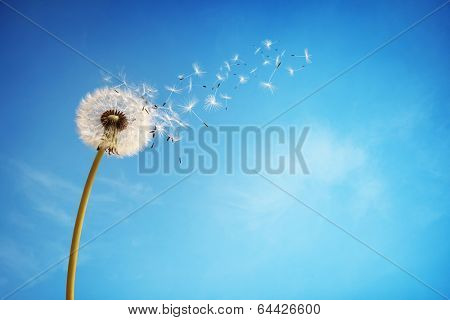 Dandelion with seeds blowing away in the wind across a clear blue sky with copy space poster