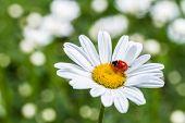 Ladybug on camomile flower close-up.