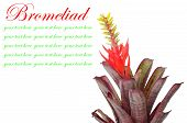 pic of bromeliad  - Bromeliad isolated on white background - JPG
