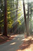 Early morning sunlight in the trees of Mariposa Grove, Yosemite National Park, California, USA