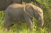 Baby Elephant In The Wilds