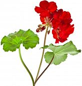 Geranium Pelargonium Flowers Bouquet on white background