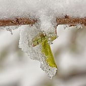 Icy Spring Bud