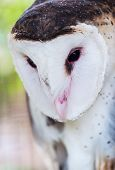 Grass Owl (Tyto capensis)