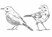 Hand Drawn Bird Vector Illustrations