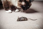 foto of dead mouse  - A cat is looking at a dead mouse he killed - JPG