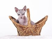 Don sphynx kitten hairless.