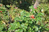 Beautiful Briar Flower Bush