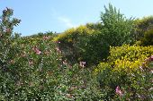 stock photo of oleander  - Nerium oleander and Cytisus scoparius in Crete - JPG