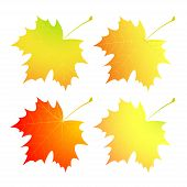 Autumn maple leaves. A set.