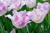 Fringed Tulips - Closeup