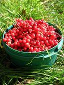 harvest of red schizandra