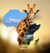 stock photo of kilimanjaro  - Africa Wildlife Map Design with geraffe and kilimanjaro - JPG