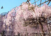 Sakura with stand