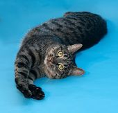 picture of yellow tabby  - Tabby cat with yellow eyes lying on blue background - JPG