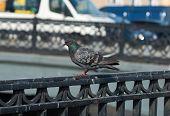 Pigeon Sitting On Railing