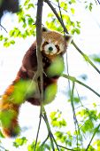 Red panda bear in tree (Ailuris fulgens)