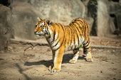Beautiful  amur tiger (Panthera tigris altaica)