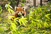 Young red panda eating bamboo leaves