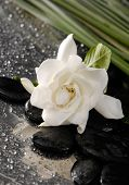 gardenia flower and green plant on pebbles