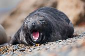 Cute Baby Seal Yawning
