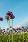 Allium Flowers Reaching into Blue Sky