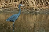 A Western Reef Heron With Its Face Flushed Purple In The Mangroves