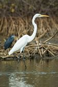 Great White Egret Standing In The Mangroves