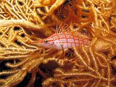 picture of hawkfish  - A small longnose hawkfish on a gorgonian coral - JPG
