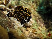 image of flatworm  - A pseudoceros gold dotted flatworm  - JPG