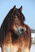 Dutch Draught Horse Stallion In Winter