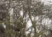 Great Grey Owl on a branch